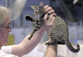 kuva 012209 . Feronian european kitten [EUR n 24] . 18.6.2005