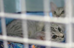 photo 016204 . Ocicat kittens from BlueNote cattery . 2005-07-31