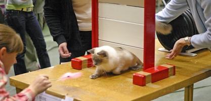 kuva 021194 . Popcornin Active Alicia [RAG a] kissa-agilityssä . 2.10.2005