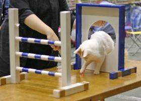 kuva 021195 . IC Ipekkedinin Birinci Bebek (Mikke) [TUV d 62] aloittaa uransa kissa-agilityssä . 2.10.2005