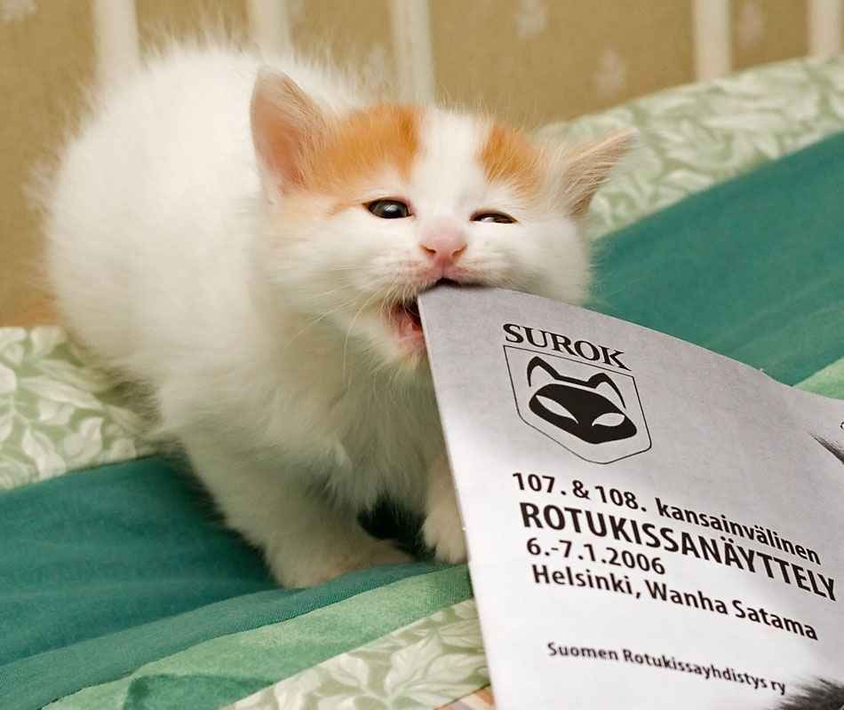 bonuskuva Turkkilaisen vanin pentu Cesmes-kissalasta tutustuu näyttelyluetteloon., kuva 028001, 6.1.2006