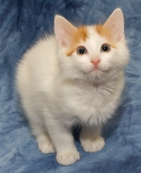 photo 030312 . bonus photo Turkish van kitten from Cesmes-cattery. . 2006-01-07