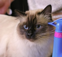 photo 031275 . Snow-Birman All I Ever Want (Jaapu) [SBI n] . 2006-02-11