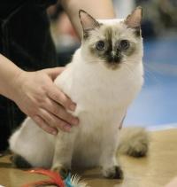 photo 041147 . Cat's-JM Nani-Nia [RAG f] . 2006-06-18
