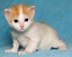 kuva 057301 . bonuskuva turkkilaisen vanin pentuja Cesmes-kissalasta . 9.12.2006