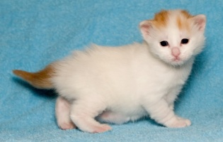 photo 057302 . bonus photo Turkish van kittens from Cesmes cattery . 2006-12-09