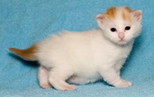 kuva 057302 . bonuskuva turkkilaisen vanin pentuja Cesmes-kissalasta . 9.12.2006