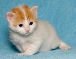 kuva 057303 . bonuskuva turkkilaisen vanin pentuja Cesmes-kissalasta . 9.12.2006