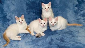 photo 059312 . bonus photo Turkish van kittens from Arokatin cattery . 2007-01-28