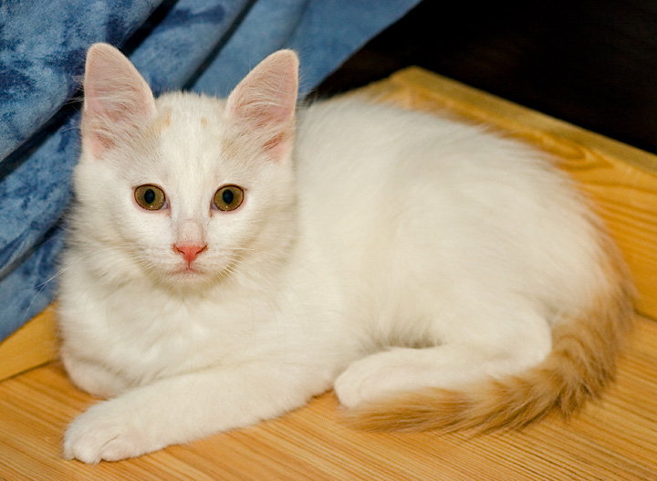 bonus photo Turkish van kittens from Arokatin cattery, photo 059314, 2007-01-28