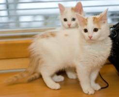 photo 059315 . bonus photo Turkish van kittens from Arokatin cattery . 2007-01-28
