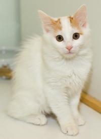 photo 059316 . bonus photo Turkish van kittens from Arokatin cattery . 2007-01-28
