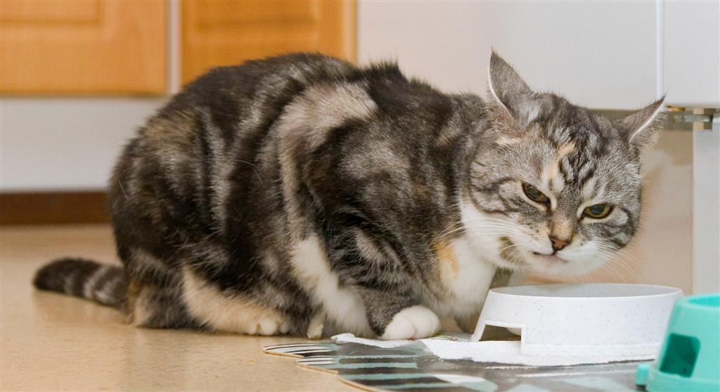 bonus photo The eating habits of felis domesticus: Miisu [HCS] female, photo 063126, 2007-04-21