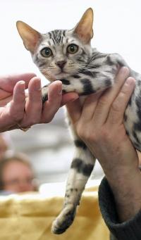 kuva 080063 . Leopardette's Wild PolarPuma [BEN x ns 24] . 10.11.2007
