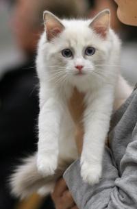 photo 081173 . Cat's-JM Piuti-Pink [RAG g 03] . 2007-11-24