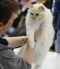 kuva 082170 . Fotocatin Catty Cleopatra [SBI d 21] . 25.11.2007