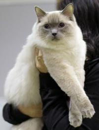 photo 083154 . Cat's-JM Tähti-Tassu [RAG a] . 2008-01-19