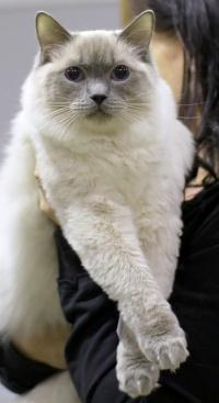 photo 083155 . Cat's-JM Tähti-Tassu [RAG a] . 2008-01-19