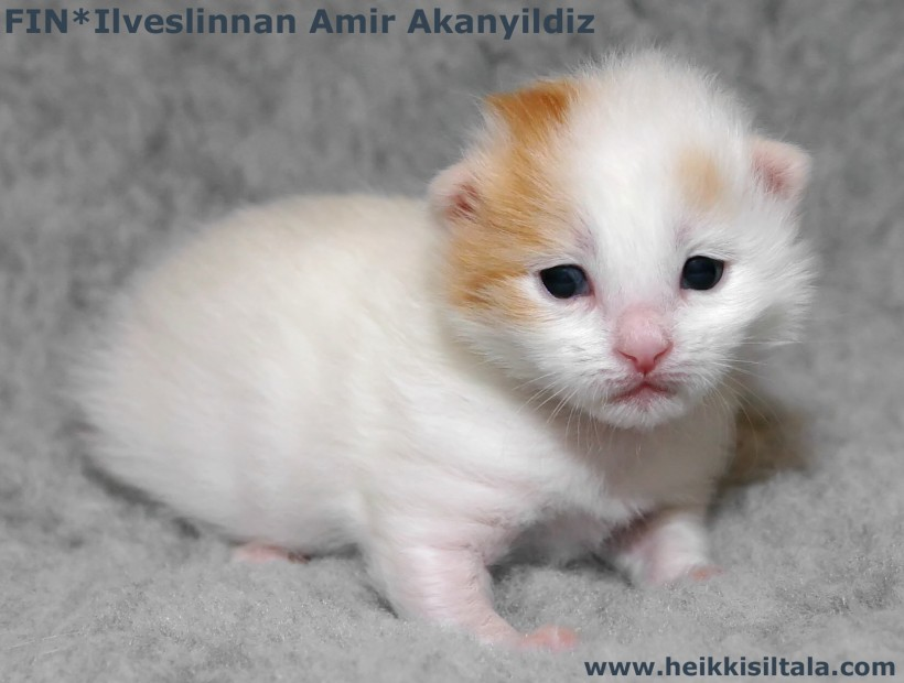 bonus photo Ilveslinnan Amir Akanyildiz (Miro) [TUV d 62] at the age of 2 weeks, photo 085377, 2008-03-01