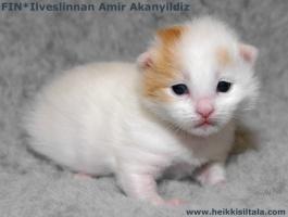 photo 085377 . bonus photo Ilveslinnan Amir Akanyildiz (Miro) [TUV d 62] at the age of 2 weeks . 2008-03-01