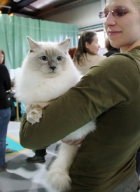 kuva 086231 . Cat's-JM Prince-Romeo (Piipe) [RAG a] . 2.3.2008