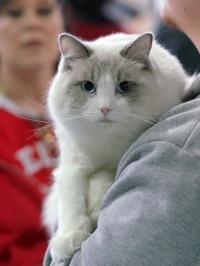 photo 086312 . Cat's-JM King-Kojak (Koja) [RAG a 03] . 2008-03-02