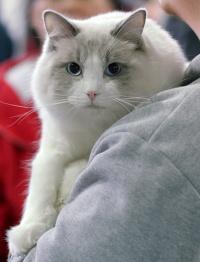 photo 086313 . Cat's-JM King-Kojak (Koja) [RAG a 03] . 2008-03-02