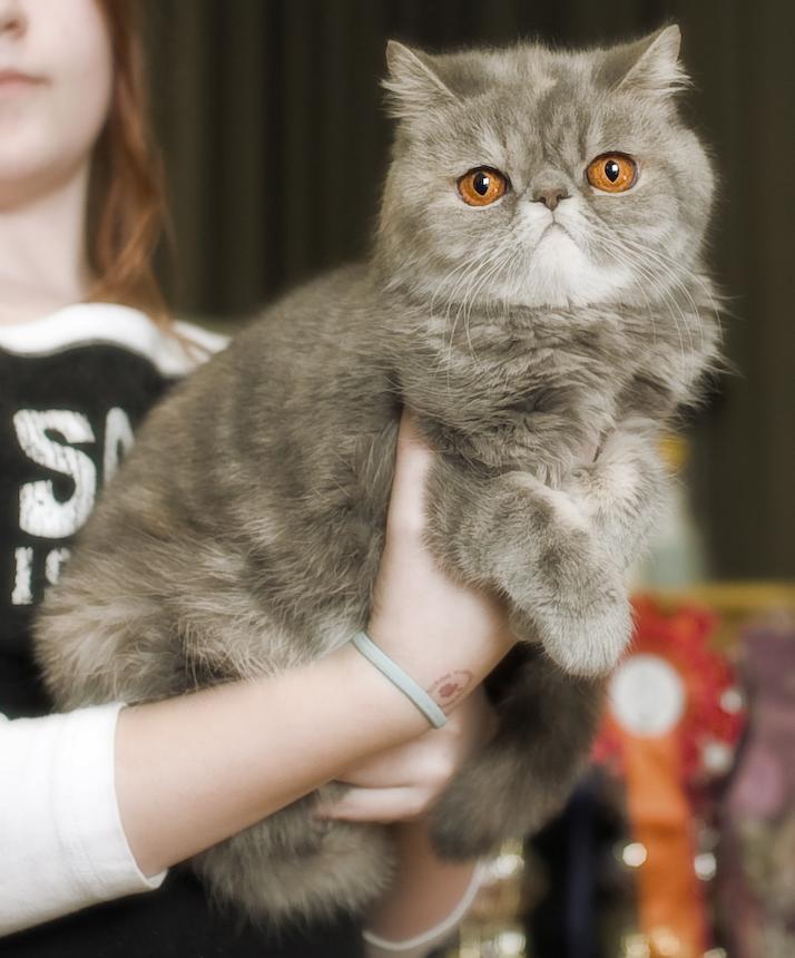Nicol-Cat's Uriah Heep (Helmi) [EXO g 22 var], kuva 089313, 6.4.2008