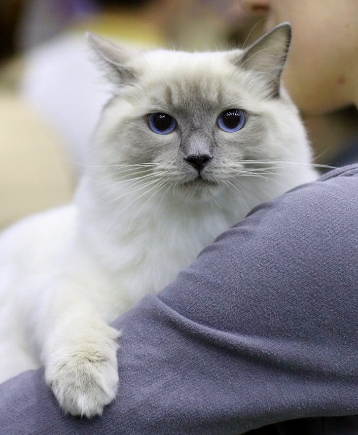 Cat's-JM Prince-Romeo [RAG a], kuva 095222, 18.5.2008