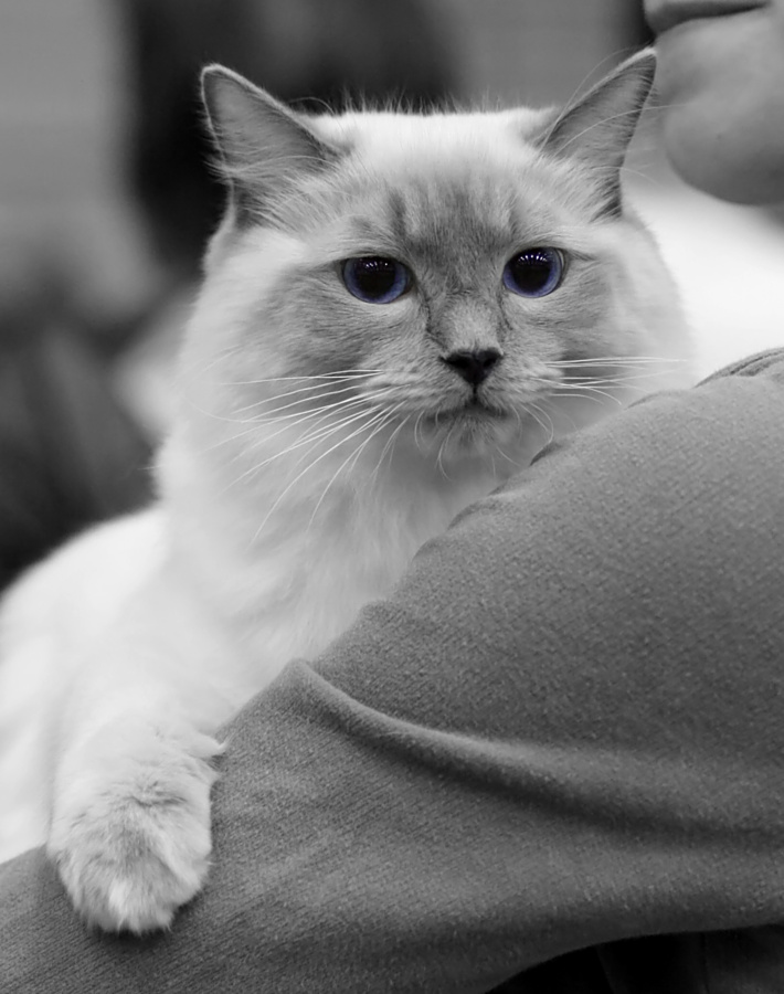 Cat's-JM Prince-Romeo [RAG a], kuva 095223, 18.5.2008