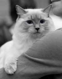kuva 095223 . Cat's-JM Prince-Romeo [RAG a] . 18.5.2008