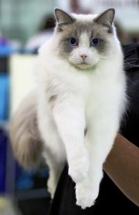 photo 098199 . Cat's-JM King-Kojak [RAG a 03] . 2008-06-28