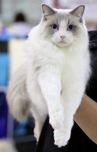 photo 098200 . Cat's-JM King-Kojak [RAG a 03] . 2008-06-28