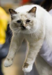 kuva 102064 . Fotocatin Catty Odetta (Odetta) [SBI f] . 24.8.2008