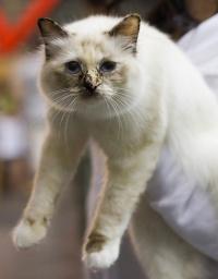 kuva 102065 . Fotocatin Catty Odetta (Odetta) [SBI f] . 24.8.2008