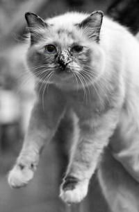 kuva 102066 . Fotocatin Catty Odetta (Odetta) [SBI f] . 24.8.2008