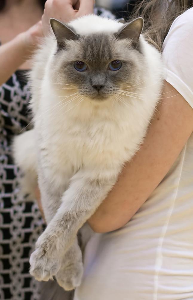 Cat's-JM Tähti-Tassu [RAG a], photo 110219, 2008-10-12