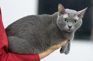 photo 115100 . EP,EC Catfever's Anjing-Feng, DSM (Elmo) [KOR] . 2008-11-23