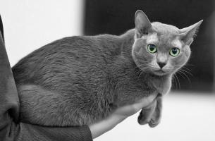 photo 115101 . EP,EC Catfever's Anjing-Feng, DSM (Elmo) [KOR] . 2008-11-23