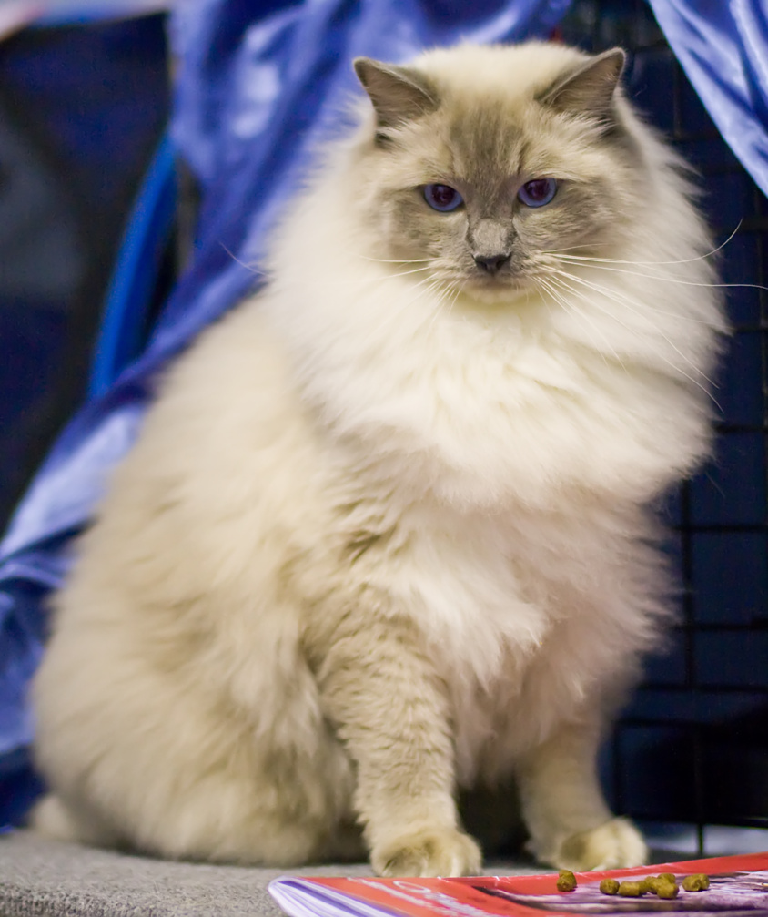 Cat's-JM Prince-Romeo (Piipe) [RAG a], photo 116047, 2008-12-13