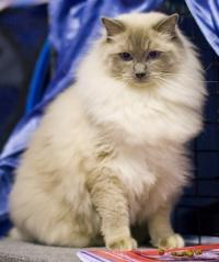 photo 116047 . Cat's-JM Prince-Romeo (Piipe) [RAG a] . 2008-12-13