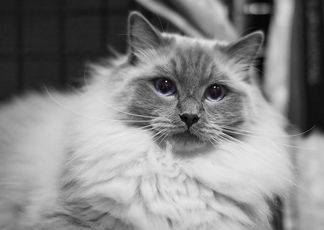 Cat's-JM Prince-Romeo (Piipe) [RAG a], photo 116049, 2008-12-13