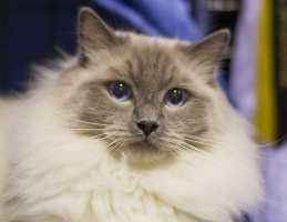 photo 116050 . Cat's-JM Prince-Romeo (Piipe) [RAG a] . 2008-12-13