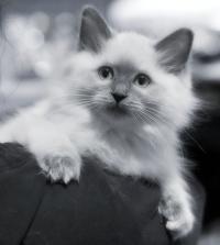 photo 116051 . Cat's-JM Prinses-Safir (Safiiri) [RAG a] . 2008-12-13