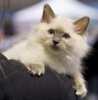 photo 116052 . Cat's-JM Prinses-Safir (Safiiri) [RAG a] . 2008-12-13