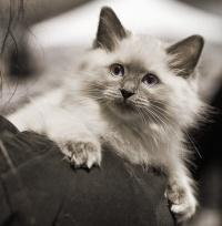 photo 116053 . Cat's-JM Prinses-Safir (Safiiri) [RAG a] . 2008-12-13