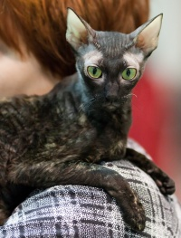 photo 118206 . IC Windseeker Rozy Black Pearl (Amelie) [CRX f] . 2009-01-24