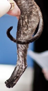 photo 120063 . CFA CH,FIFe IC Windseeker Rozy Black Pearl (Amelie) [CRX f] . 2009-03-14