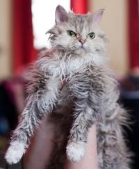 photo 121154 . Overlandcats Ninifee (Ninni) [SRL] . 2009-03-21