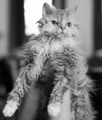 kuva 121155 . Overlandcats Ninifee (Ninni) [SRL] . 21.3.2009